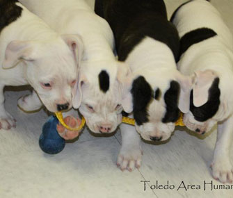 Some of the puppies found in a suitcase in Toledo play with a toy.