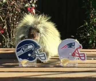 Teddy Bear the Talking Porcupine picks the Seattle Seahawks to win this year's Super Bowl.