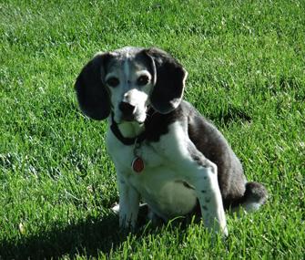 beagle sitting in grass