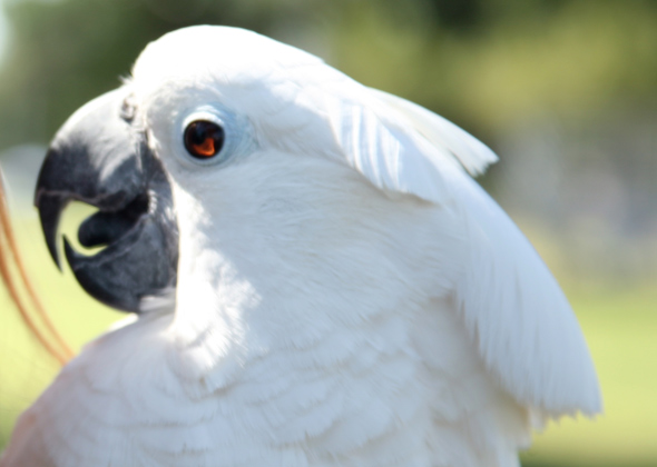 Smiling Cockatoo
