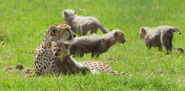 Dubai's seven cubs romp around their enclosure at the ZSL Whipsnade Zoo.