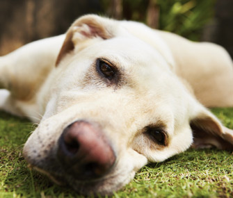 Lethargic dog lying in grass