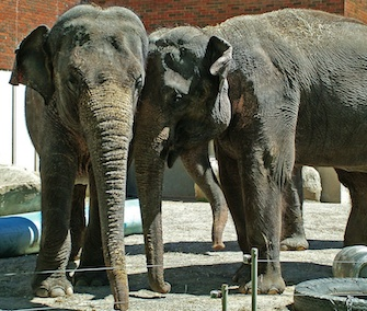 Maharani, left, and her mom, Kamala, right, are among the three elephants transferred to the National Zoo from the Calgary Zoo.