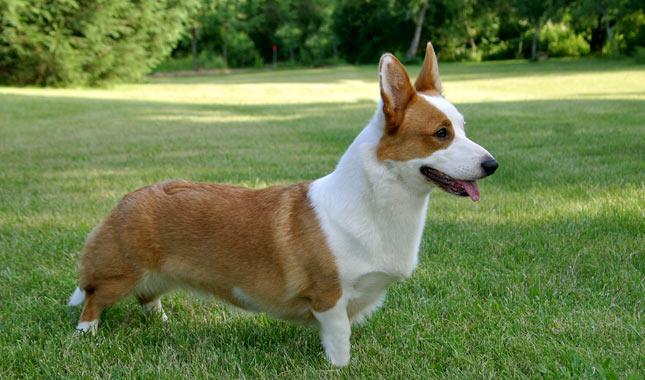 Dog Breeds That Look Like Corgis