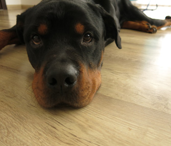 Rottweiler lying on floor