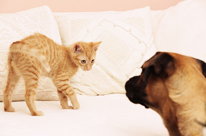 Cat and dog being introduced in home