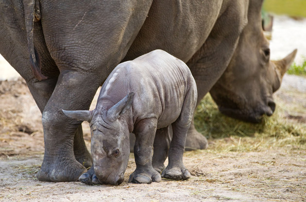 Baby Rhino Busch Gardens