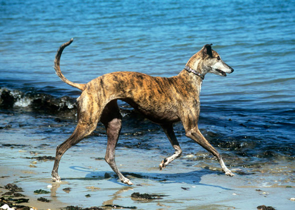 Greyhound Running in Water