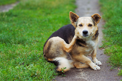 Dog scratching his ear on the front lawn.