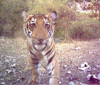 A tiger cub checks out a camera trap at an Indian park.