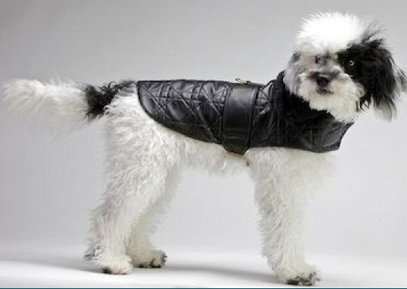 Dog wearing leather jacket