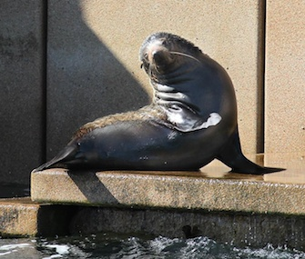 A young fur seal enjoys sunning himself on the steps of the Sydney Opera House.