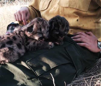 Two young mountain lion cubs were rescued from a wildfire at Bitterroot National Forest.