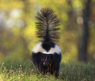 Skunk in a meadow