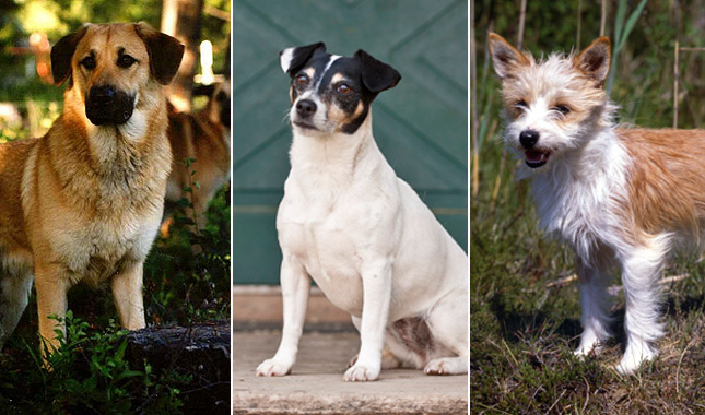 New Recognized AKC Breeds