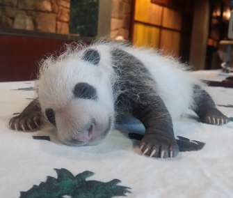 The National Zoo's sleepy panda cub is gaining his iconic black and white markings.