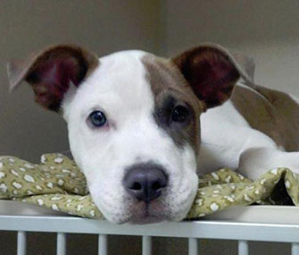 This 4-month-old puppy was found in New York, and shared on the Hurricane Sandy Lost and Found Pets Facebook page.