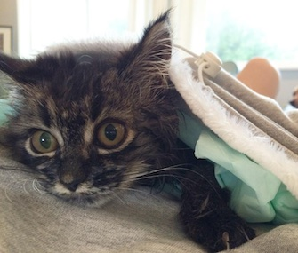 A 6-year-old girl in Hawaii is helping raise money to fund surgery for a stray kitten found with a spinal deformity.