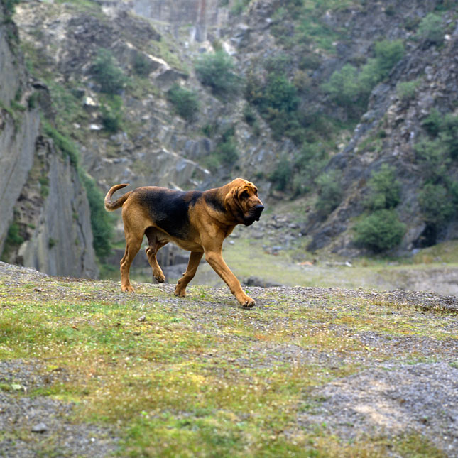 Bloodhound's asset - crossword puzzle clue