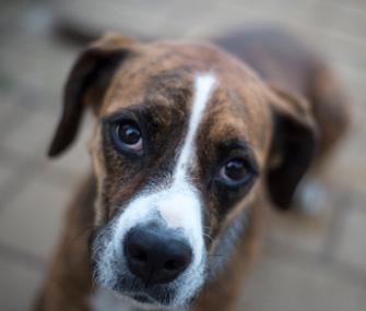 Sad Boxer looking at camera