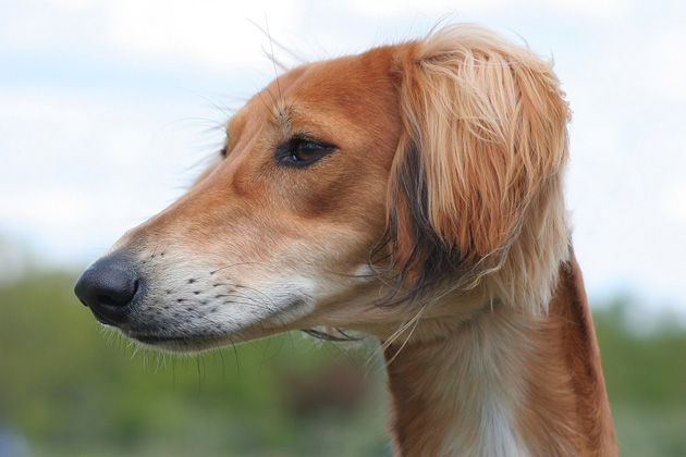 Saluki, The World's Oldest Dog Breed