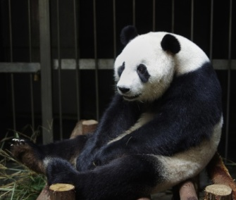 Giant panda Ai Hin's keepers suspect she faked a pregnancy to get better food and accommodations at the Chengdu Research Base in China.