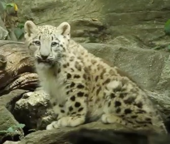 The Bronx Zoo's snow leopard makes his energetic debut.