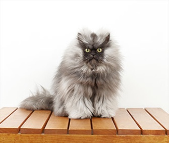 Colonel Meow's 9-inch fur has put him in the 2014 edition of the Guinness Book of World Records.