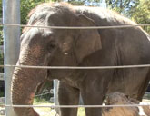 Shanhti, the National Zoo's musical Asian elephant