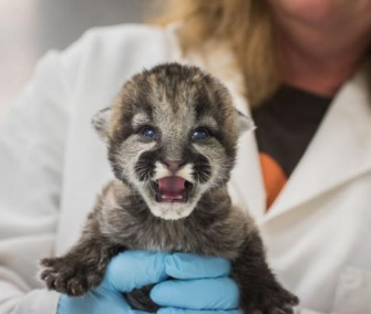 Three orphaned cougar cubs are getting around-the-clock care at the Oregon Zoo.