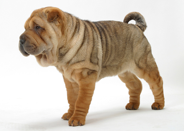... Dog Breeds Wrinkly Dog Breeds Mellow Dog Breeds Most | Dog Breeds