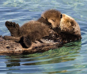 A mother otter and her young pup were spotted floating around Monterey Bay Aquarium's Great Tide Pool on Wednesday.