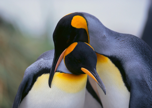 two orange and black penguins