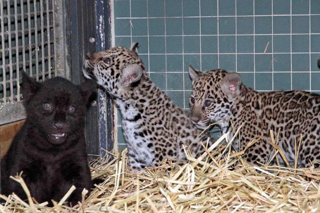 Trio of Jaguar cubs