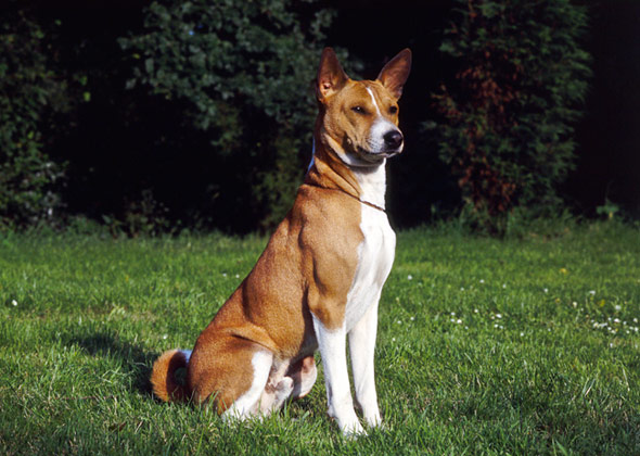 Basenji dog breed