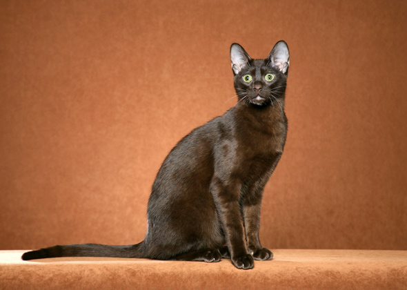 Havana Brown, a cat breed you've probably never heard of
