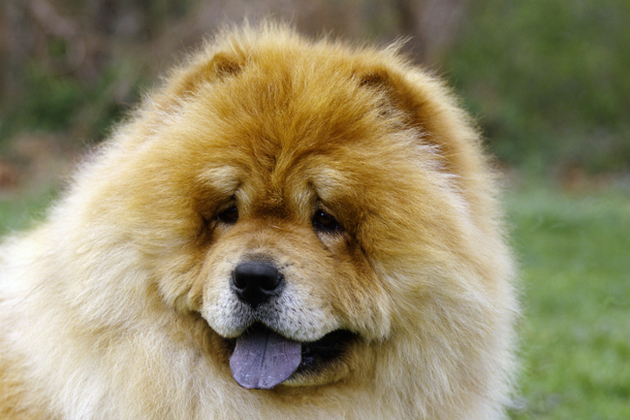 Chow Chow — Low-Key Guardian