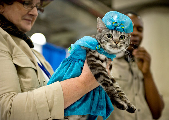 Kitty in a Blue Dress at Meet the Breeds Cat Fashion Show