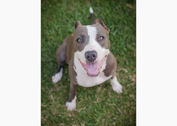 adoptable pit bull