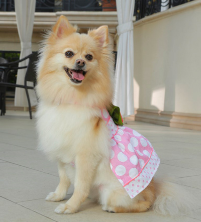 Zoe the Pomeranian in Dress
