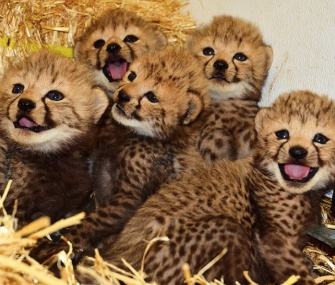 Eight rare king cheetah cubs were born to mom Mona Lisa at the LEO Conservation Center in Connecticut.