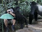 Gorillas make tourist one of their own