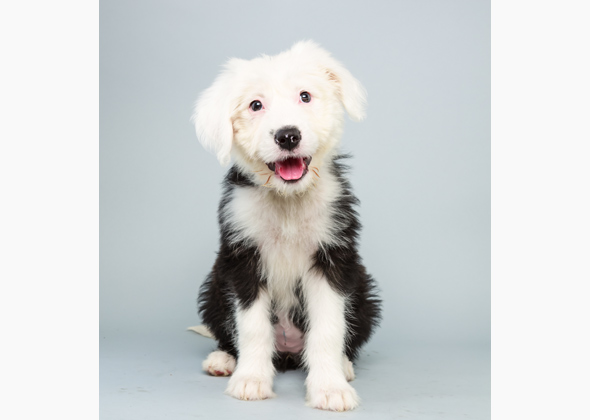 Ginger, Old English Sheepdog Mix, Animal Planet Puppy Bowl X
