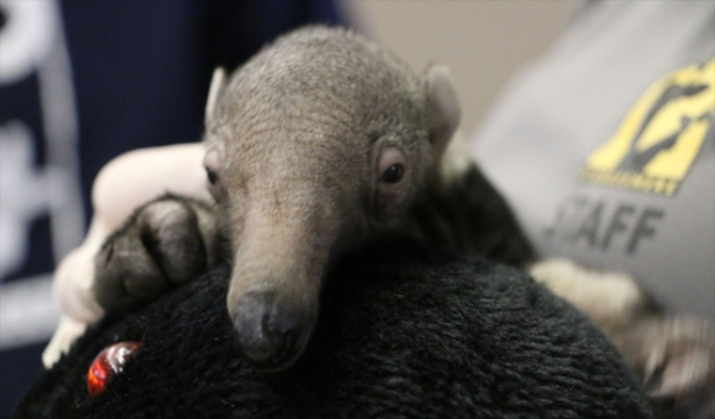 Gabana the giant anteater was born at the Nashville Zoo