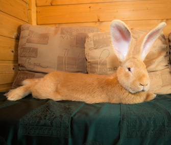 Atlas the giant bunny has a new home with an experienced owner.