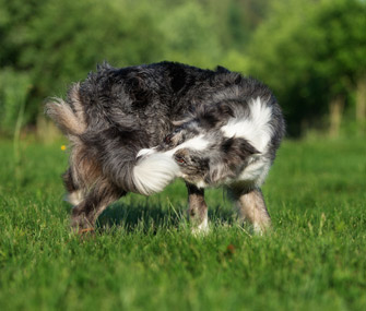 Dog chasing tail