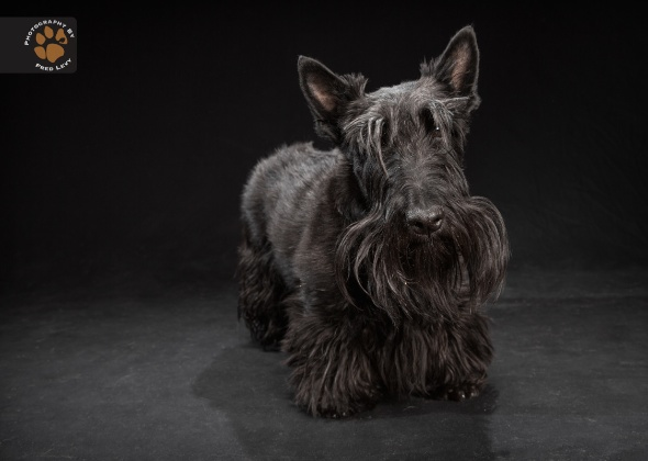 Scottish Terrier, Black Dogs Project by Fred Levy