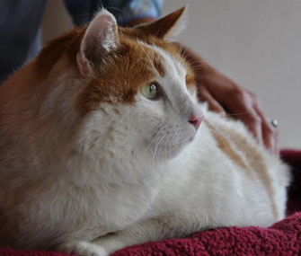Meow the 39-pound cat died on Saturday
