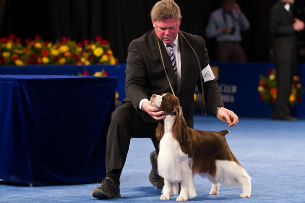 English Springer Spaniel show dog
