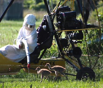 Humans have been dressing in bird costumes while trying to raise whooping crane chicks.